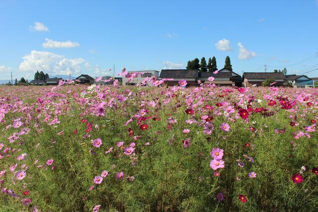 【富山のお花畑】砺波の散居村にある、満開のコスモス畑